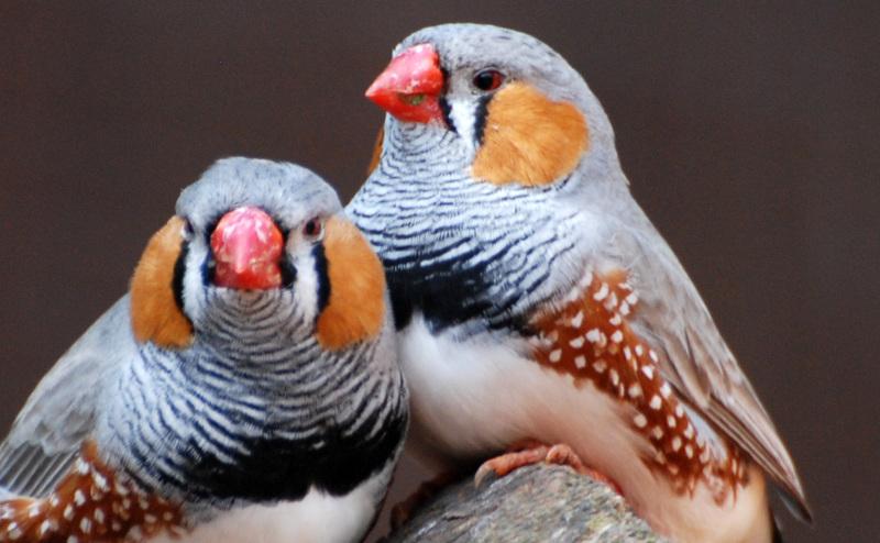 الترابط بين أزواج الطيور يتعزز في أدمغتها