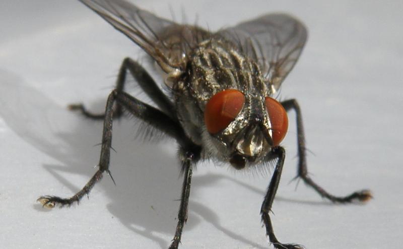 الذباب المنزلي قد يعطي فكرة عن الأمراض البشرية