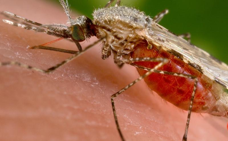 بكتيريا أمعاء البعوضة الحاملة للملاريا تهاجمها