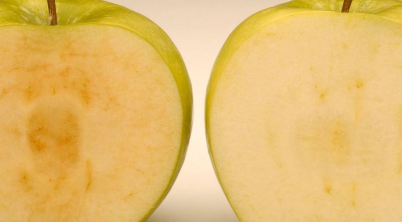 تفاح معدل وراثياً لا يتحول إلى اللون البني عند تعرضه للهواء