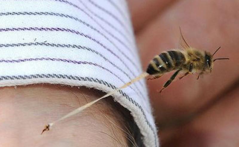 لماذا يموت نحل العسل بعد أن يلسع الإنسان