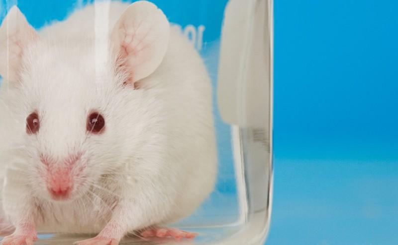 هل فقدت فئران المختبرات دورها كأدوات في التجارب العلمية؟