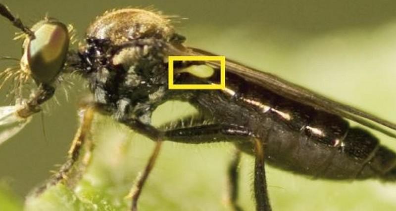 هل تعمل أجنحة الحشرات كأجهزة للحفاظ على التوازن؟