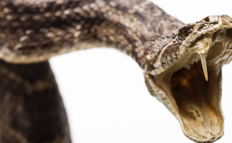 الأبوسوم يمكن أن يكون ترياق لسم الأفاعي