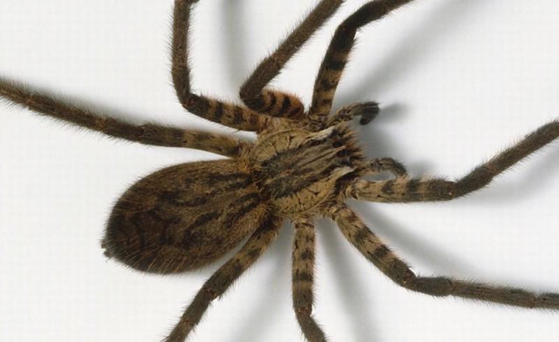 الخوف من العناكب متأصل في الحمض النووي للبشر