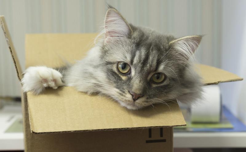 لماذا تحب القطط صناديق الكرتون؟