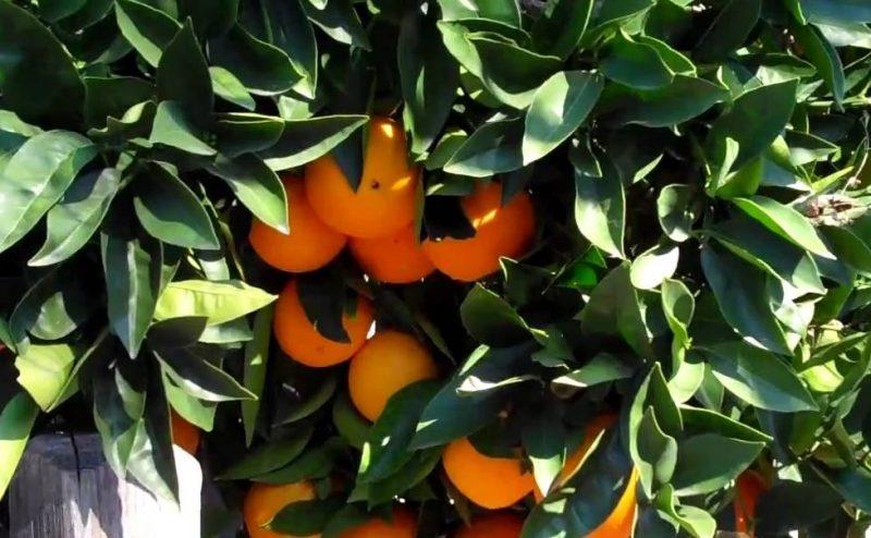 العناية بمزارع البرتقال ابوسرة