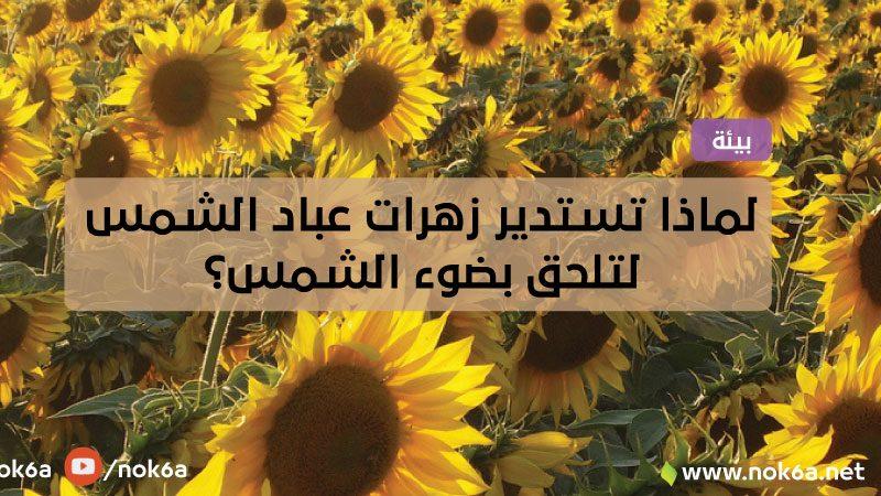 لماذا تستدير زهرات عباد الشمس لتلحق بضوء الشمس؟