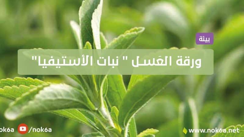 """ورقة العَسـل """" نبات الأستيفيا"""""""
