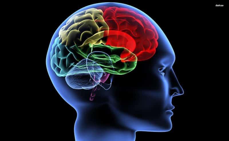هل تجدّد أدمغتنا الخلايا العصبية الخاصة بها بعد البلوغ؟