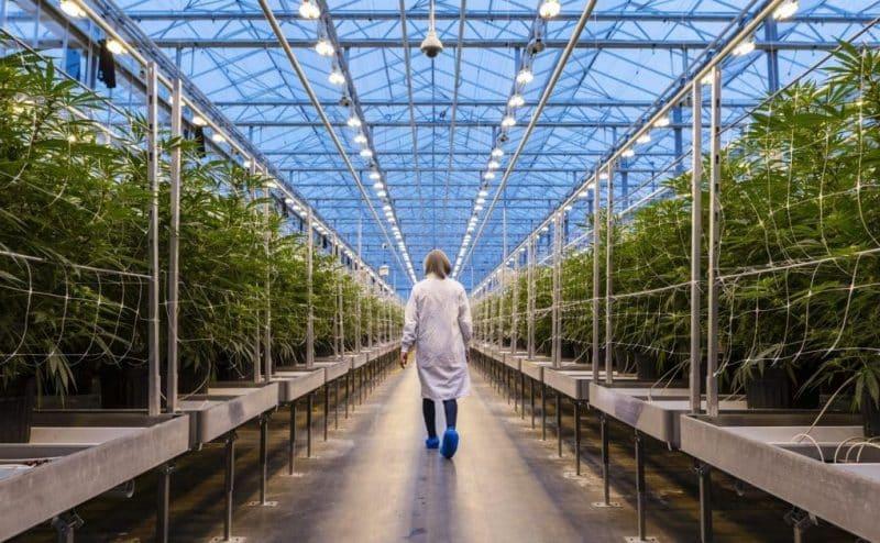 نباتات تحتوي على مرّكب كيميائي مسكن للآلام يشبه الماريجوانا