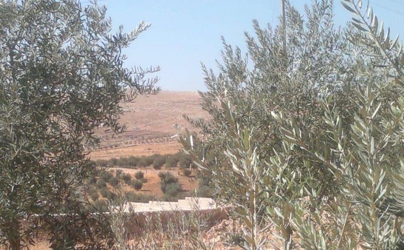 الجفت.. وقود من بلاد الزعتر والزيتون