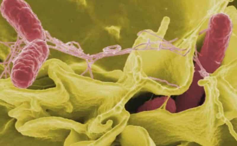 كل ما يجب عليك معرفته حول بكتيريا  السالمونيلا
