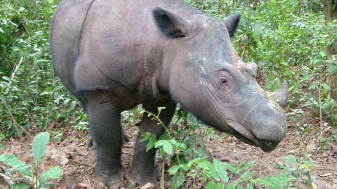 نفوق آخر ذكر وحيد قرن سومطري في ماليزيا