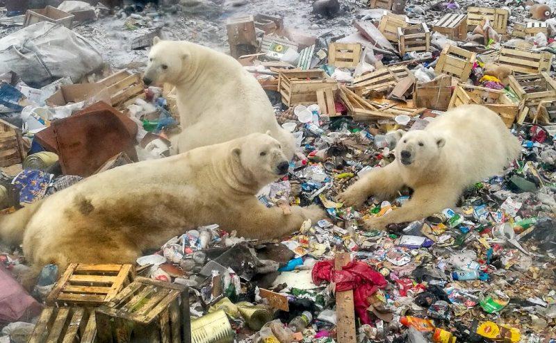 العثور على دب قطبي جائع يتجول في مدينة روسية صناعية