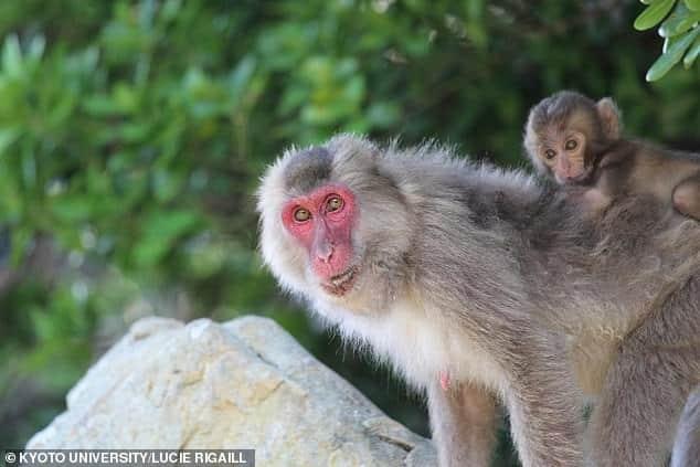 الوجوه الحمراء لقرود المكاك اليابانية علامة على الوضع الاجتماعي وليس الخصوبة