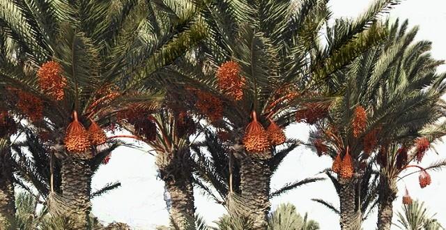 """مشروع """"مراكش لنخيل التمر"""" يحصل على شهادة الجودة الدولية """"آيزو"""""""