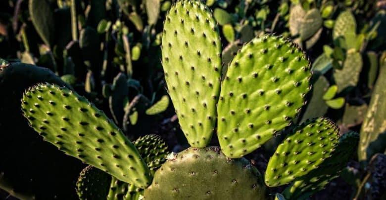 البلاستيك النباتي من عصير الصبار غير سام وسريع التحلل