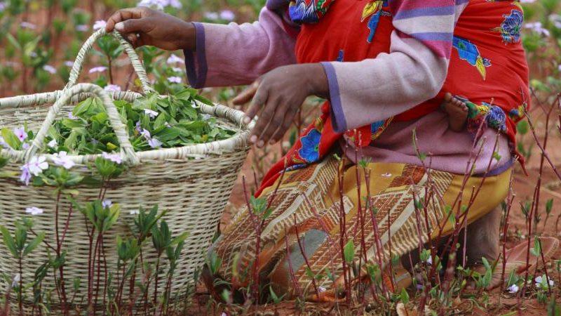 النباتات الطبية الأفريقية…تراث مهدد بالانقراض