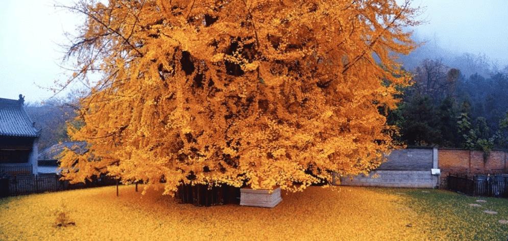 الجنكة، الشجرة التي نسيها الزمن